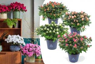Set van 4 kleurrijke azalea's
