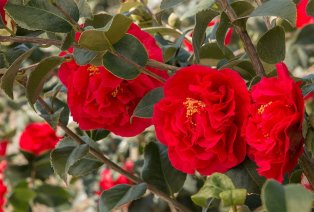 2 rose japonese xl