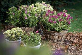 Set con 6 diverse piante perenni di Hebe
