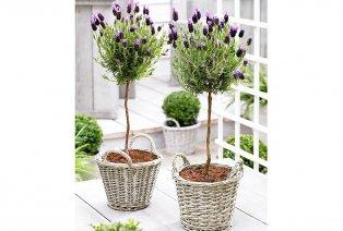 Set van 2 lavendelbomen op stam