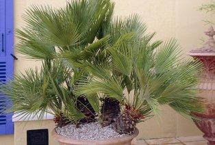 Conjunto de 2 palmas Chamaerops vulcano