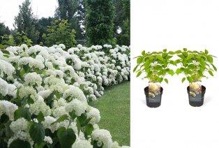 2 hortensia