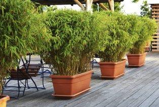 Set van 3 XXL bamboestruiken