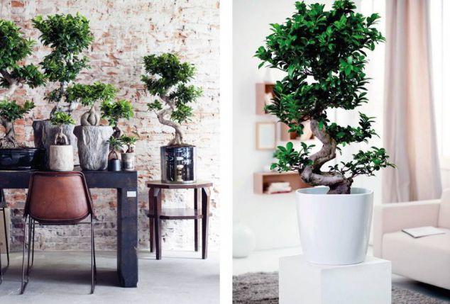 Xxl bonsai baum outspot