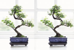 Bonsai boompjes