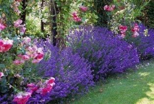 Lavendelplanten