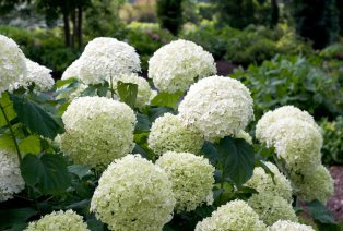 Lot de 2 hortensias