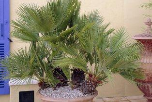 Lot de 2 palmiers