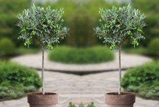 2 XL Olivenbäume