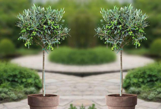 Set van 2 XL olijfbomen