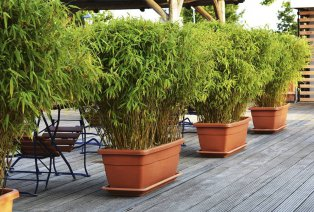 Lot de 3 plants de bambou XXL