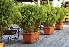 Set, bestehend aus 3 XXL Bambuspflanzen