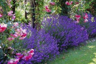 Arbustos de lavanda