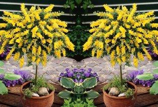 2 reichlich blühende XL Cytisus Ginsterbäume