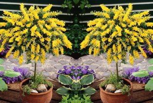 2 arbustes cytisus racemosus XL