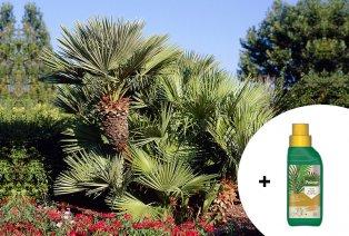 Palmier XXL résistant à l'hiver + traitement pour palmier gratuit
