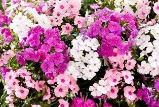 Conjunto de 3 flores Phlox