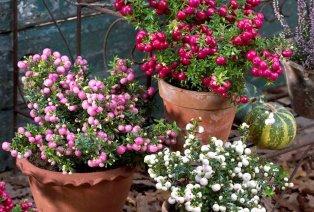 Set de 3 arbustes Pernettya