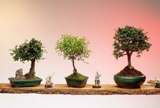 3 Bonsai-Bäume